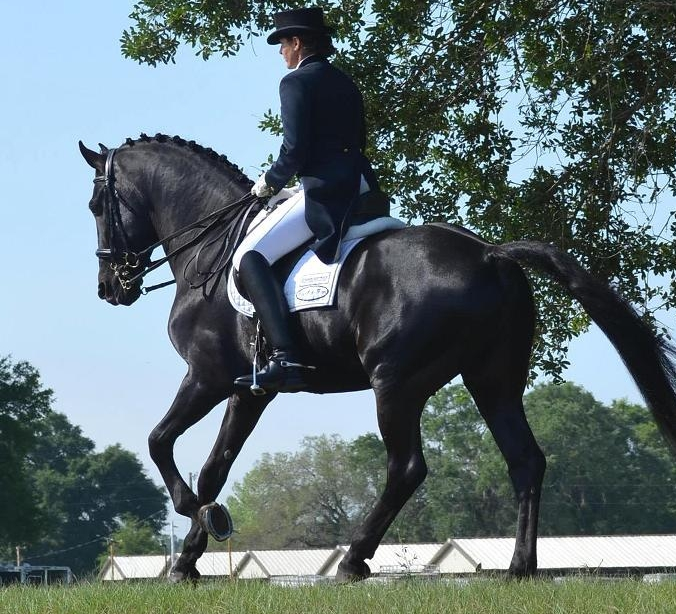 Grand Prix Friesian Sporthorse Lexington