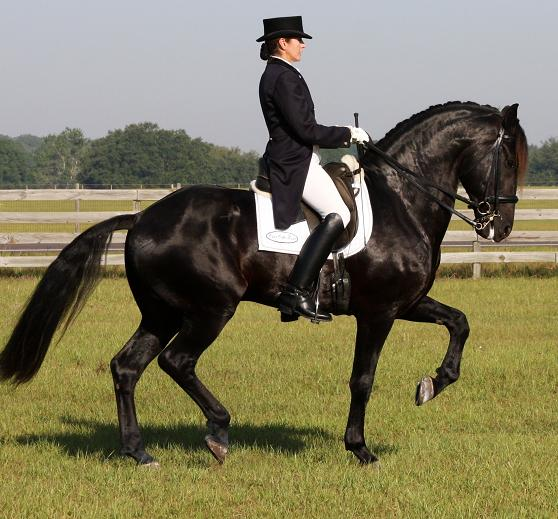 Lexington, 7YO Approved Friesian Sporthorse stallion, ridden by Gigha Steinman