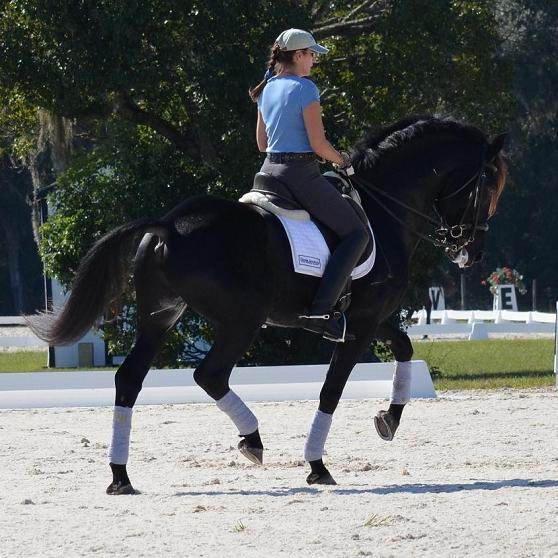 Lexington ~ Elite Book Friesian Sporthorse stallion