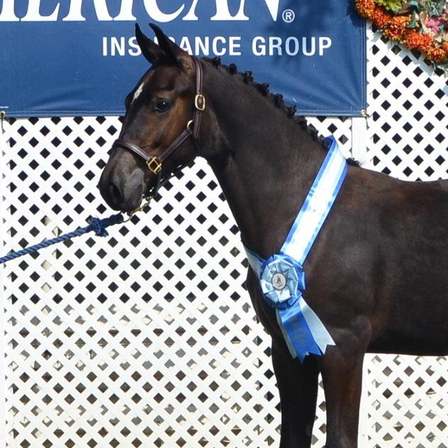 DSHB Breeder's Championships Learjet Friesian Sporthorse