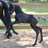 Friesian Sporthorse filly by Tietse