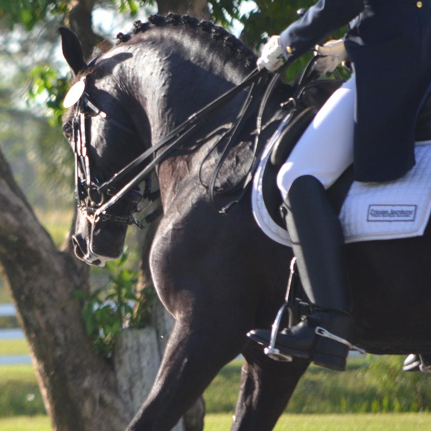 Lexington Grand Prix dressage stallion