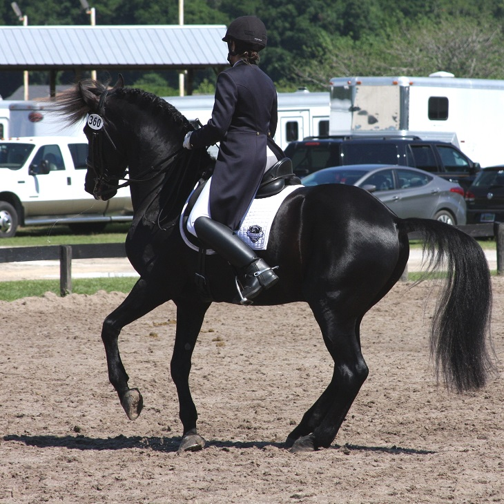 Lexington Grand Prix Friesian Sporthorse