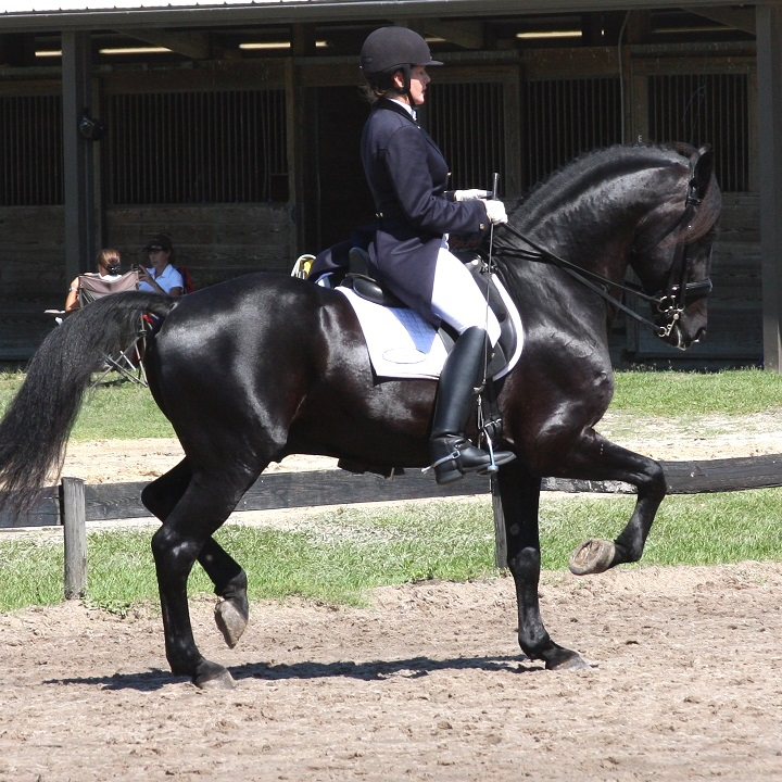 Grand Prix Friesian Sporthorse