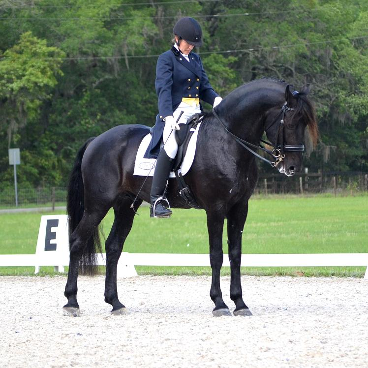Lexington Elite Friesian Sporthorse