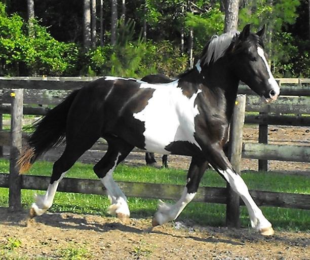 Pinto Friesian Horse Pinto Friesian Sporthorse