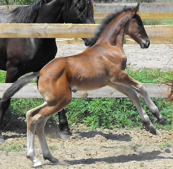 Lily ROF - Friesian Sporthorse filly by Lexington